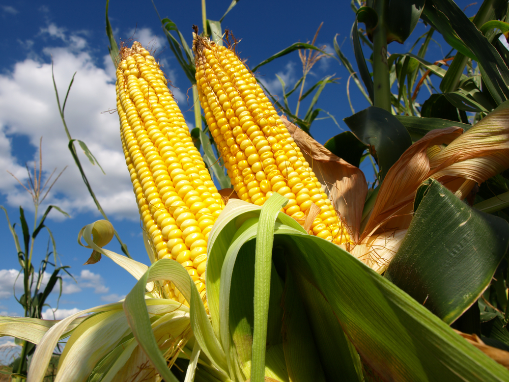 """""""Agent Orange"""" Corn: Biotech Only Winner in Chemical Arms Race as Herbicide Resistant Crops Fail ..."""