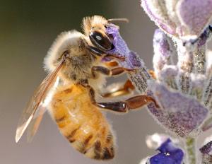 honey-bee-lavender