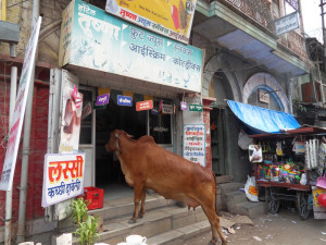 cow in ice cream shop