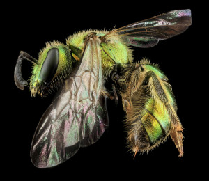 wild_green_bee_USGS_bee_inventory_and_monitoring