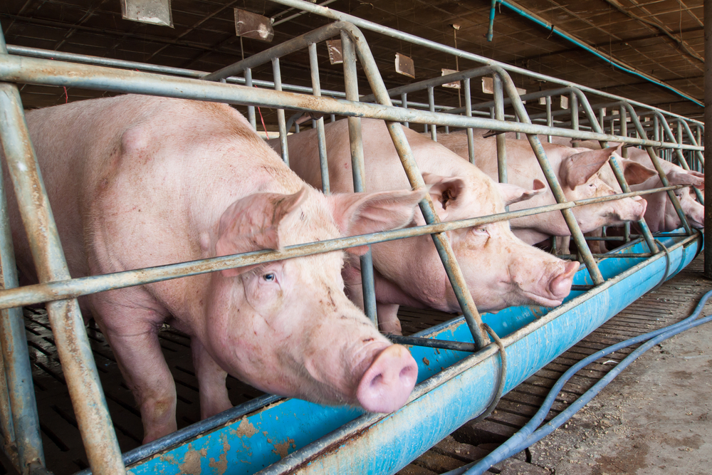 Hog Wild: Factory Farms are Poisoning Iowa's Drinking Water