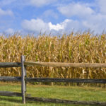 corn field fence