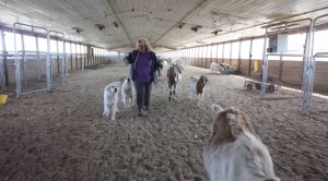 Goats raised in a former industrial chicken house