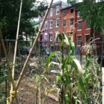 An urban garden in Baltimore, where the study was conducted. Photo by Jared Margulies.