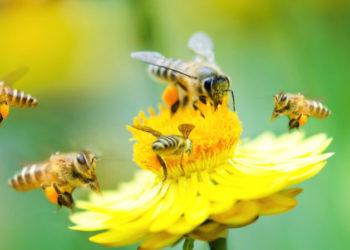 bees_dandelion_crop
