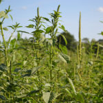 Palmer amaranth in the field. Photo credit: United Soybean Board.