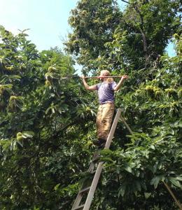 Adam collecting chestnut scion