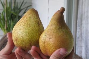Beurre Clairgeau Pear
