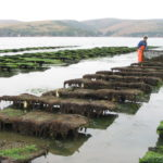 Hog Island Oyster Leases. Photo Courtesy Hog Island Oyster Co