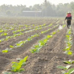 A worker sprays pesticides on a tobacco field. Photo: Anukool Manoton | Shutterstock.