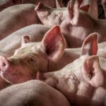 Hogs at a confinement facility run by New Fashion Pork, one of Hormel Foods' suppliers. Photo by Mary Anne Andrei.