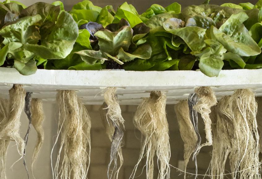 Aquaponic roots