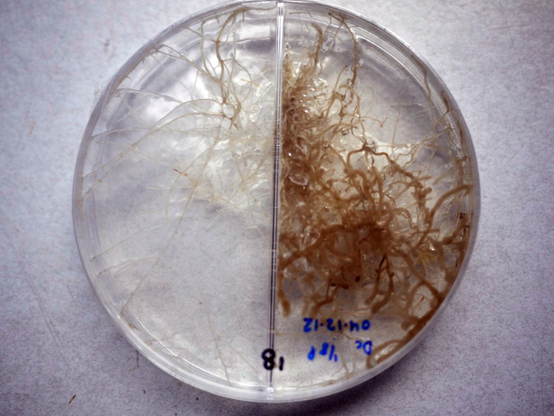 CG_MF petri dish