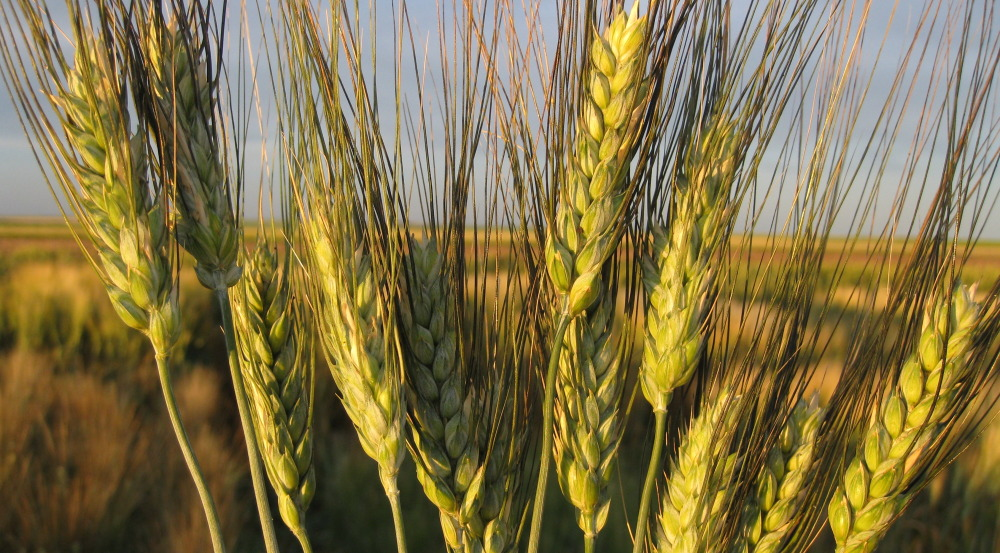 How a new grain could help combat Climate Change