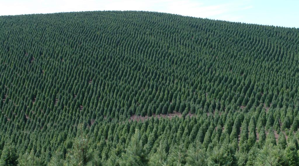 Plantation Doug 03