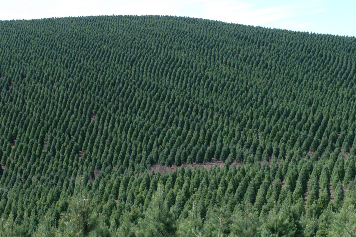 Seasons Greening How Christmas Tree Farmers Are Cutting Down On