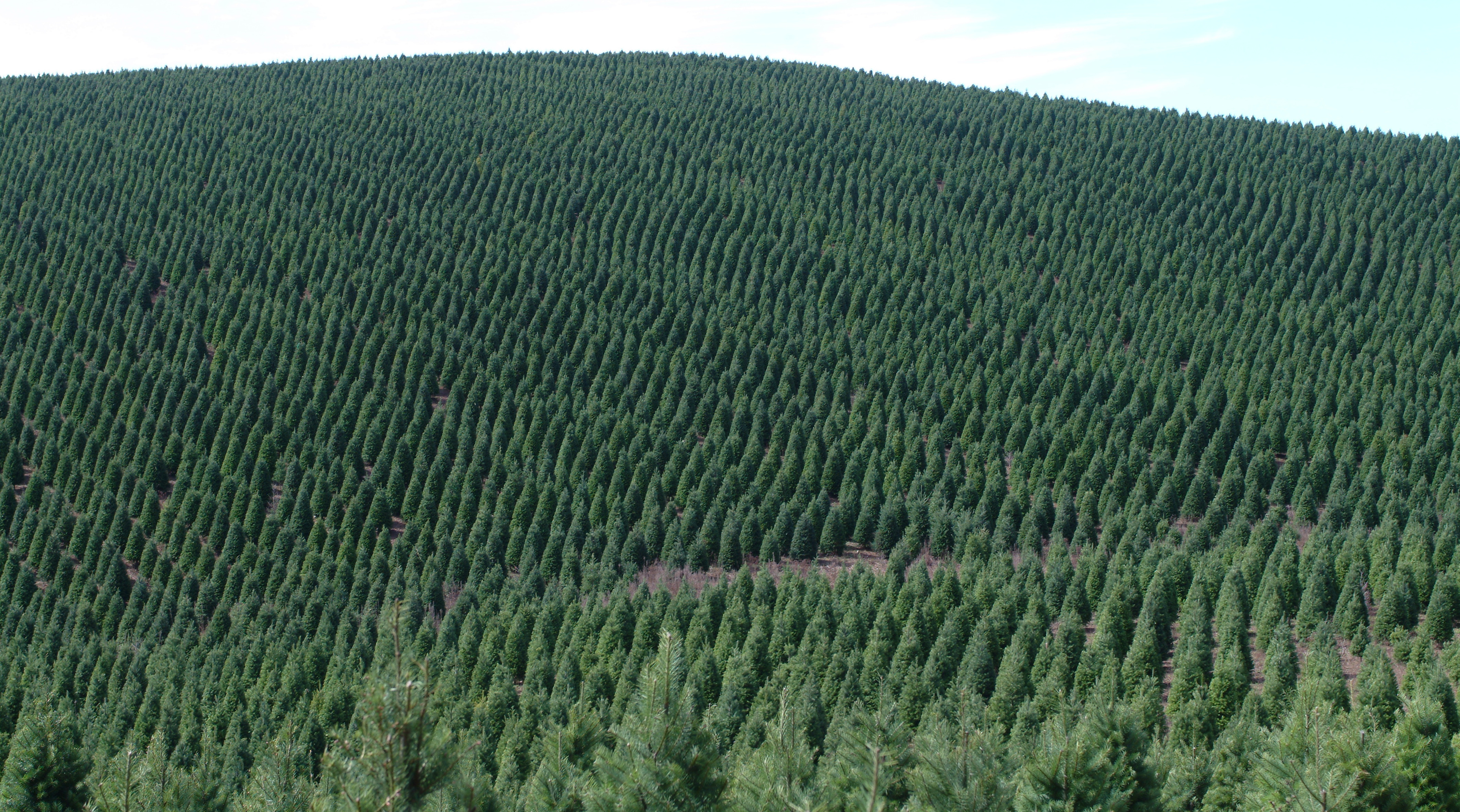 How Long Does It Take To Grow A Christmas Tree.Seasons Greening How Christmas Tree Farmers Are Cutting
