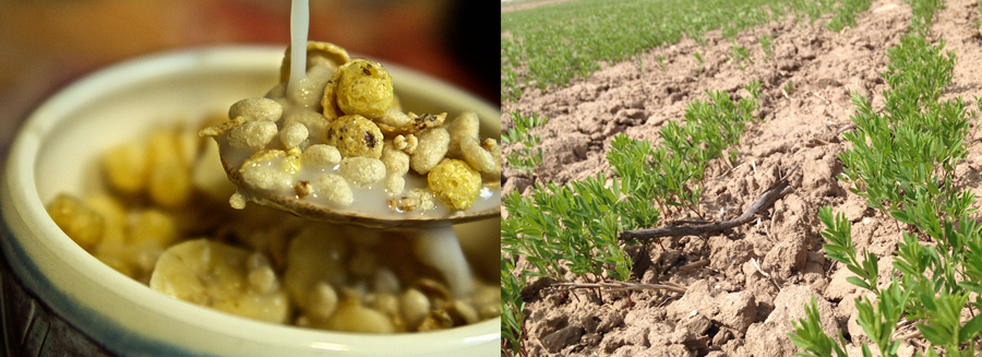 Growing Organic Cereal From the Ground Up