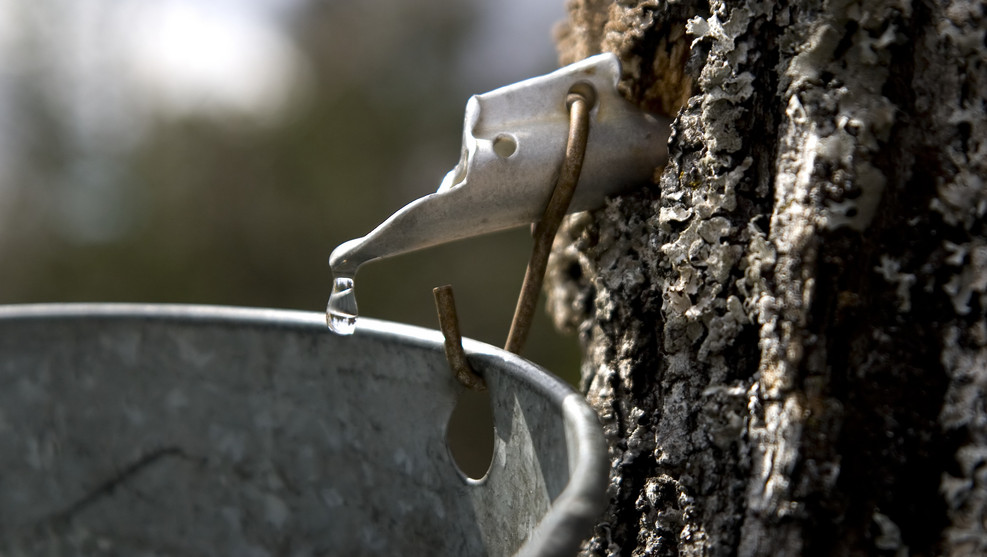 Maple Water Fad Or Lifeline For Forests Civil Eats
