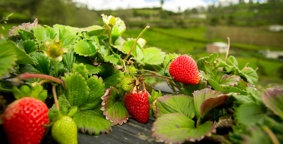 how to kill wild strawberries growing in lawn