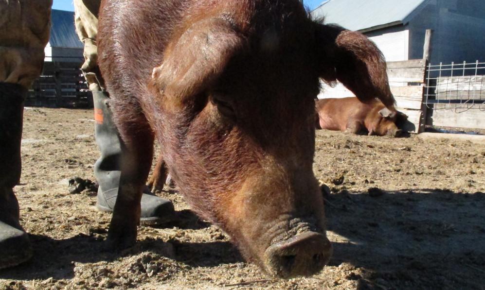 In Nebraska, a Battle Over Corporate Pork Ownership | Civil Eats