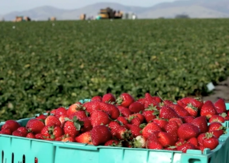 Is the Strawberry Field The Next Farmworkers' Rights Battleground?