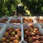 The peaches at Masumoto Family  Farm
