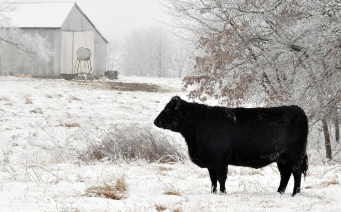 Black cow on a farm