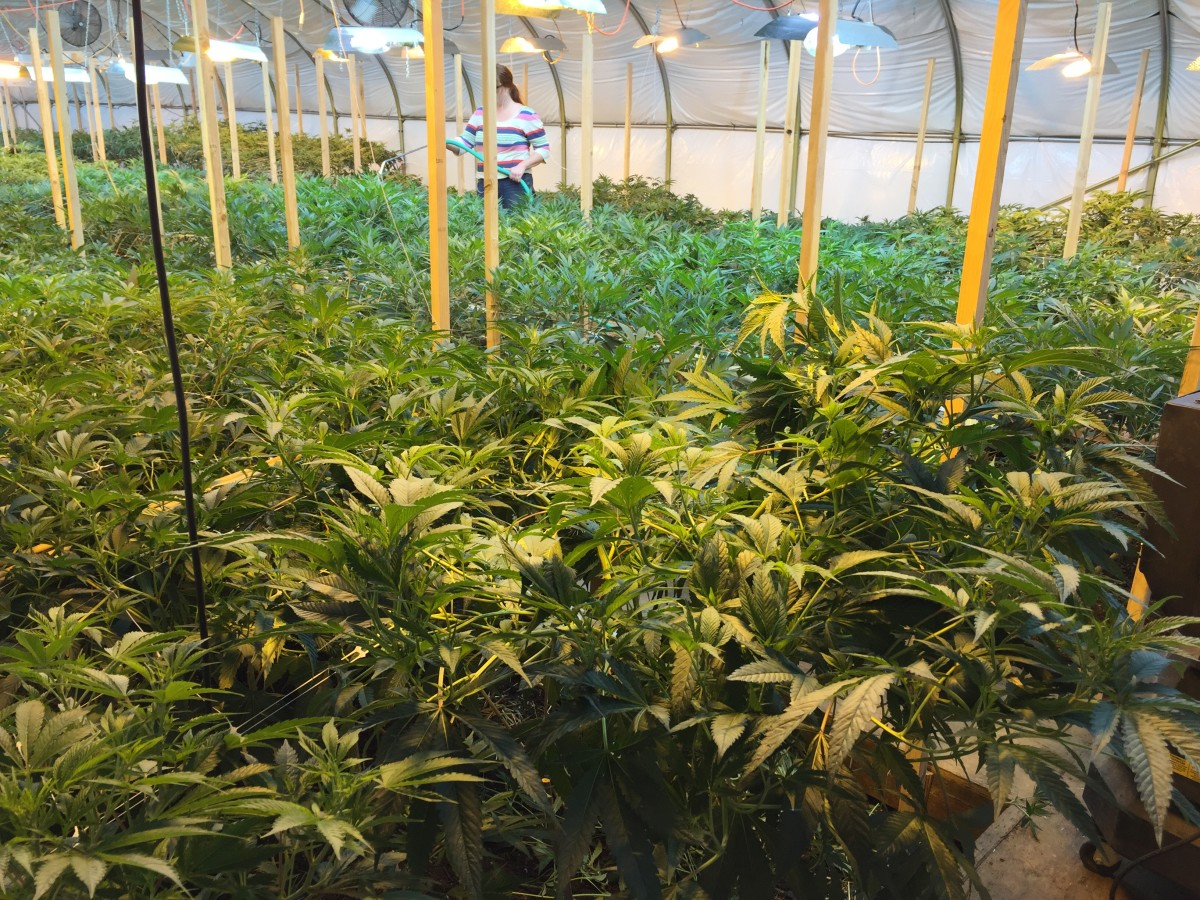 Clean weed inside an organic marijuana farm civil eats for Cannabis interieur