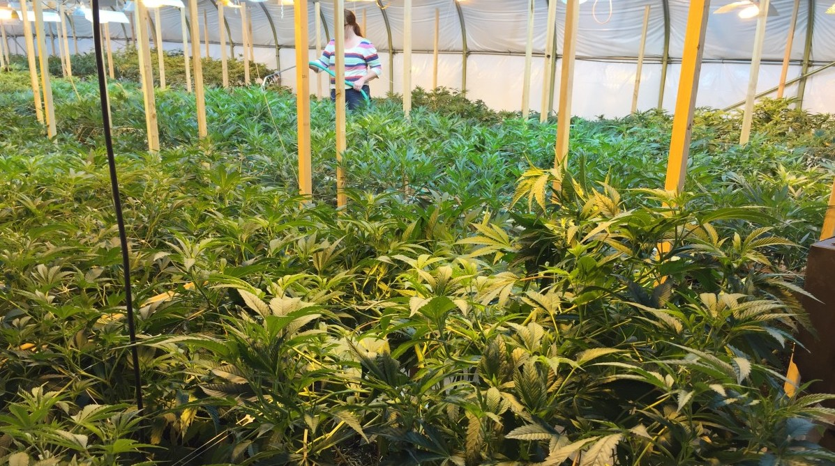 Clean Weed Inside An Organic Marijuana Farm Civil Eats