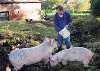 farmer hogs