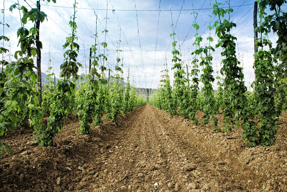 hops beer