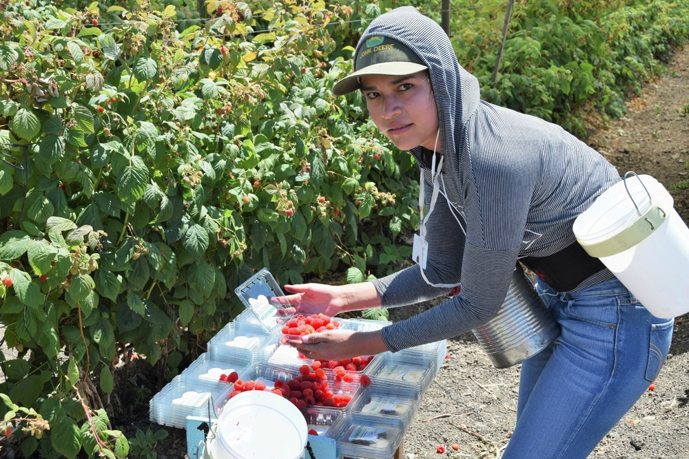 A farmworker picks raspberries in Salinas, California. Photo by rightdx / Shutterstock.com.