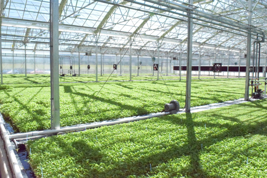 BrightFarms Interior - Salad Greens in Greenhouse