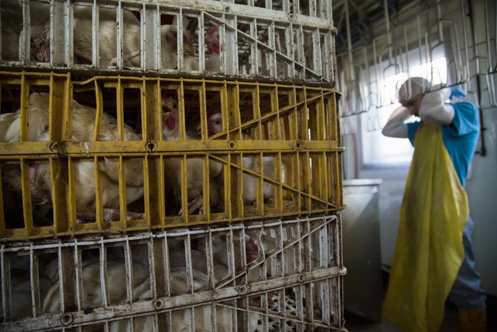 Chicken Farm and Worker