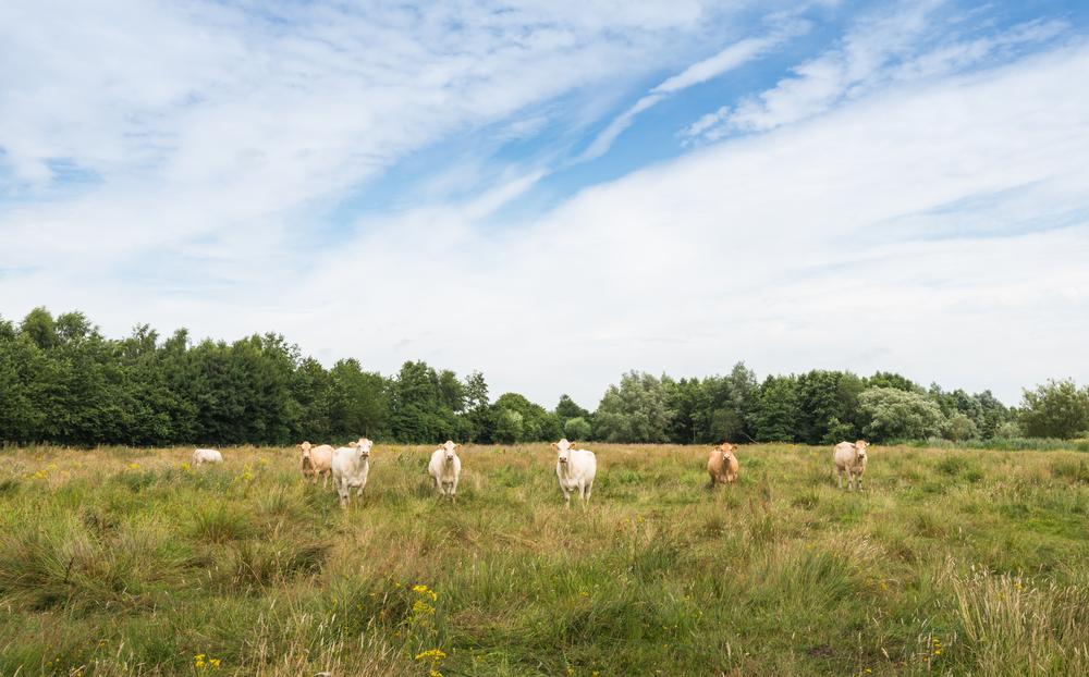Carbon Farming - Cows in a Field