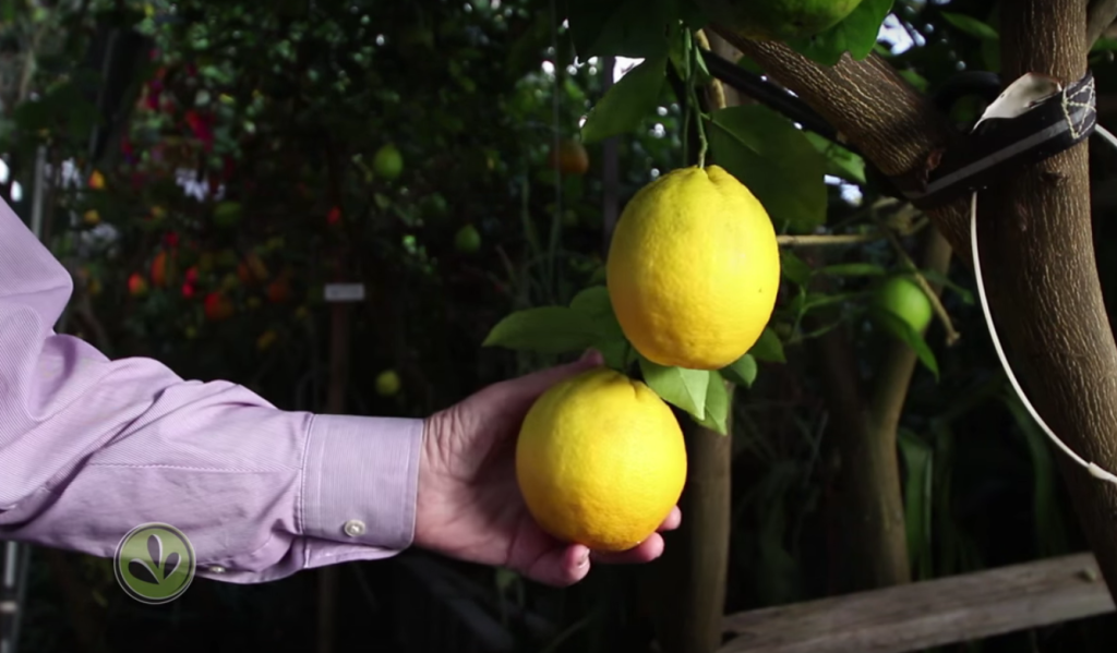Russ Finch with Valencia Oranges on Tree in Geothermal Greenhouse