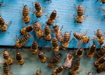 Bees Near Hive