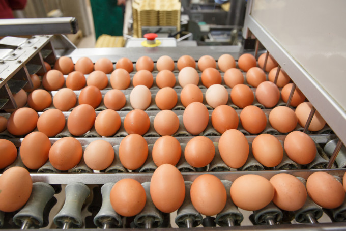 Eggs on Conveyor for Sorting