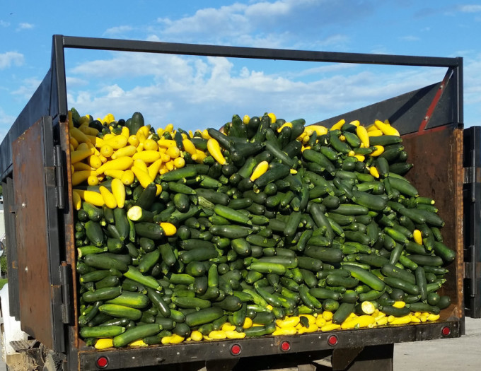 Squash Produce in a Truck Bed