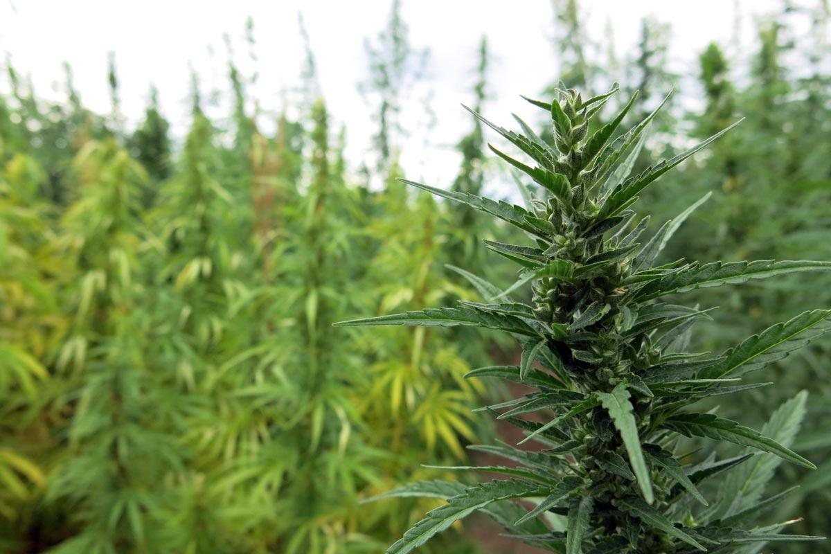 Hemp Grown on Colorado State University's Research Farm