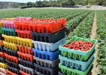 Strawberries in Boxes in Field
