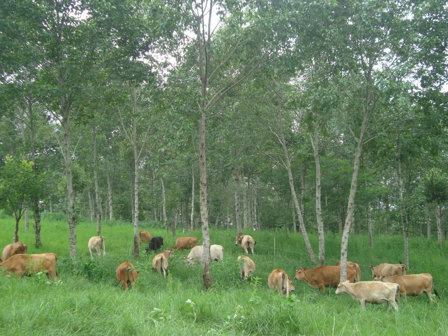 Cows Under Trees - Carbon Farming