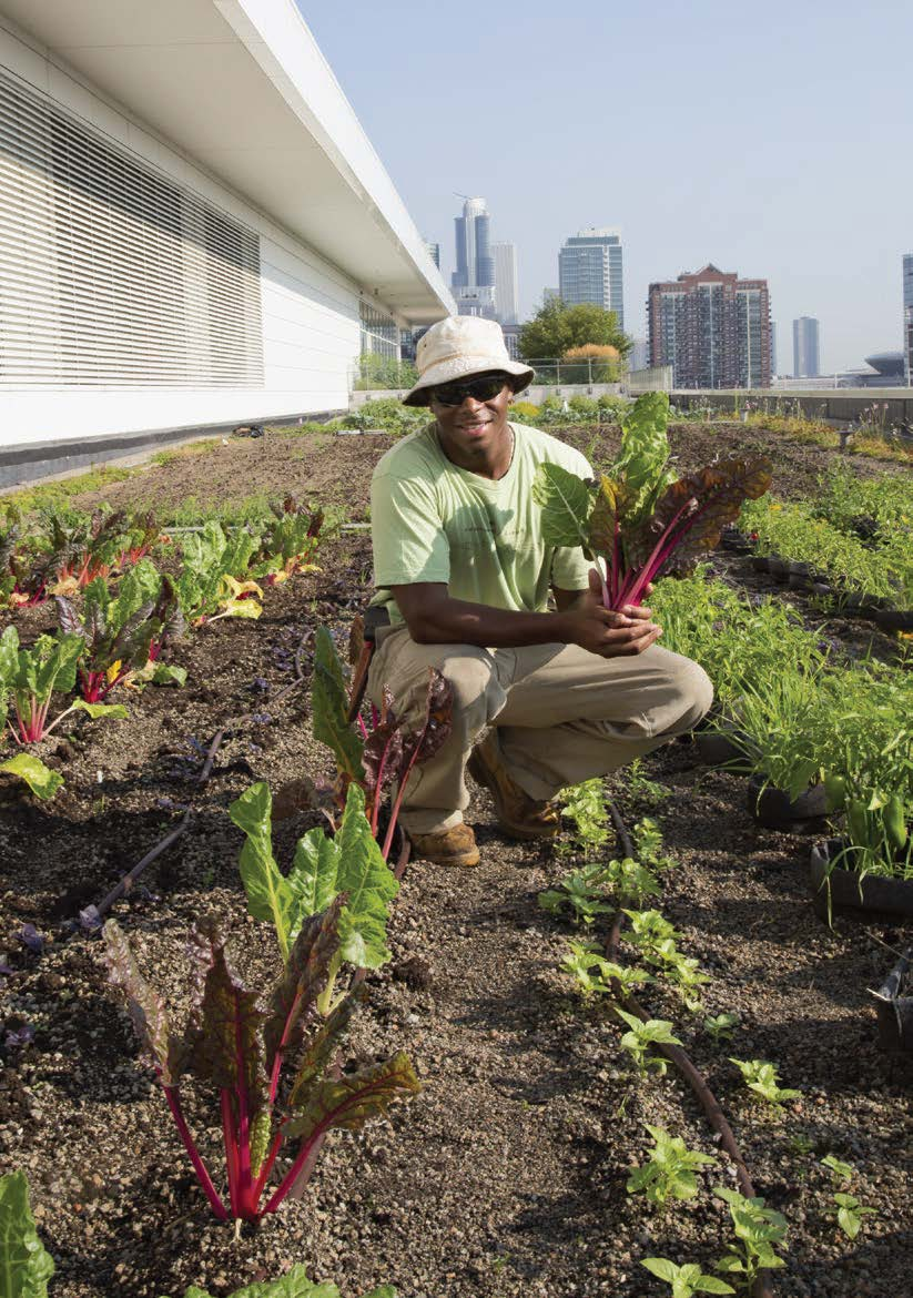 Man with Swiss Chard in Rooftop Garden