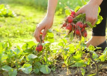 Person Picking Radishes in Backyard Garden