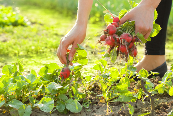 Person Picking Radishes in Backyard Garden