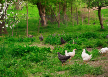 Free Range Chickens in a Field