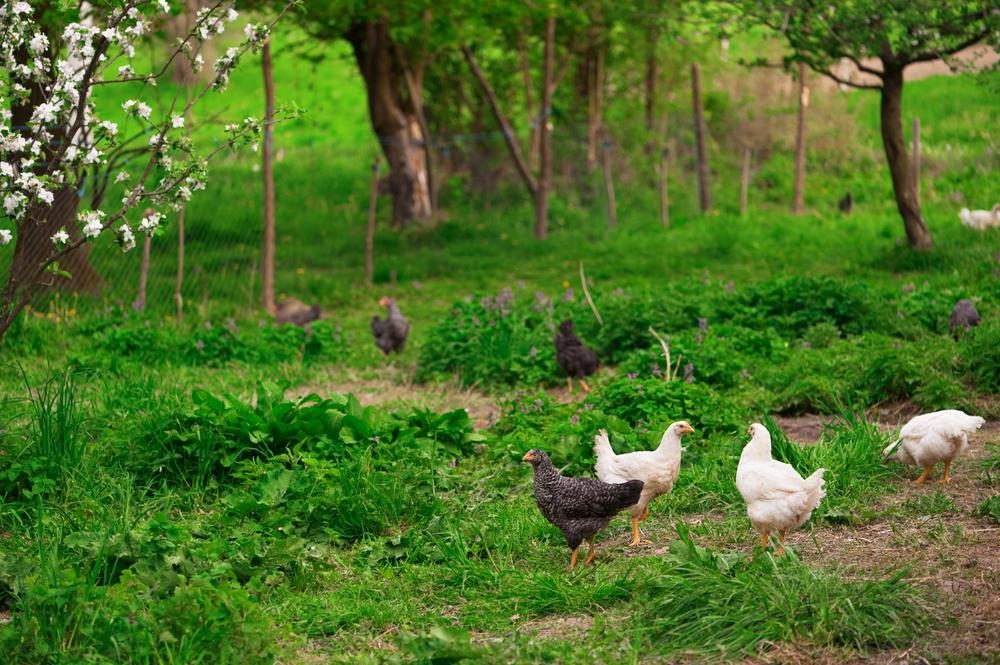 Free Range Chickens in a Field
