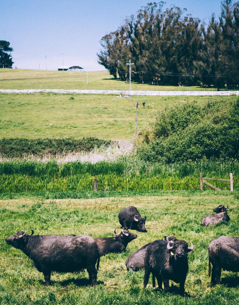 Water Buffalo on Double 8 Dairy in Petaluma