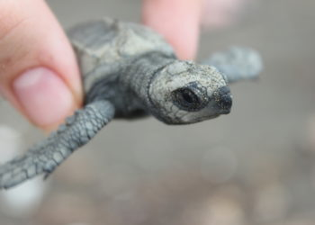 Baby Sea Turtle - An Endangered Species